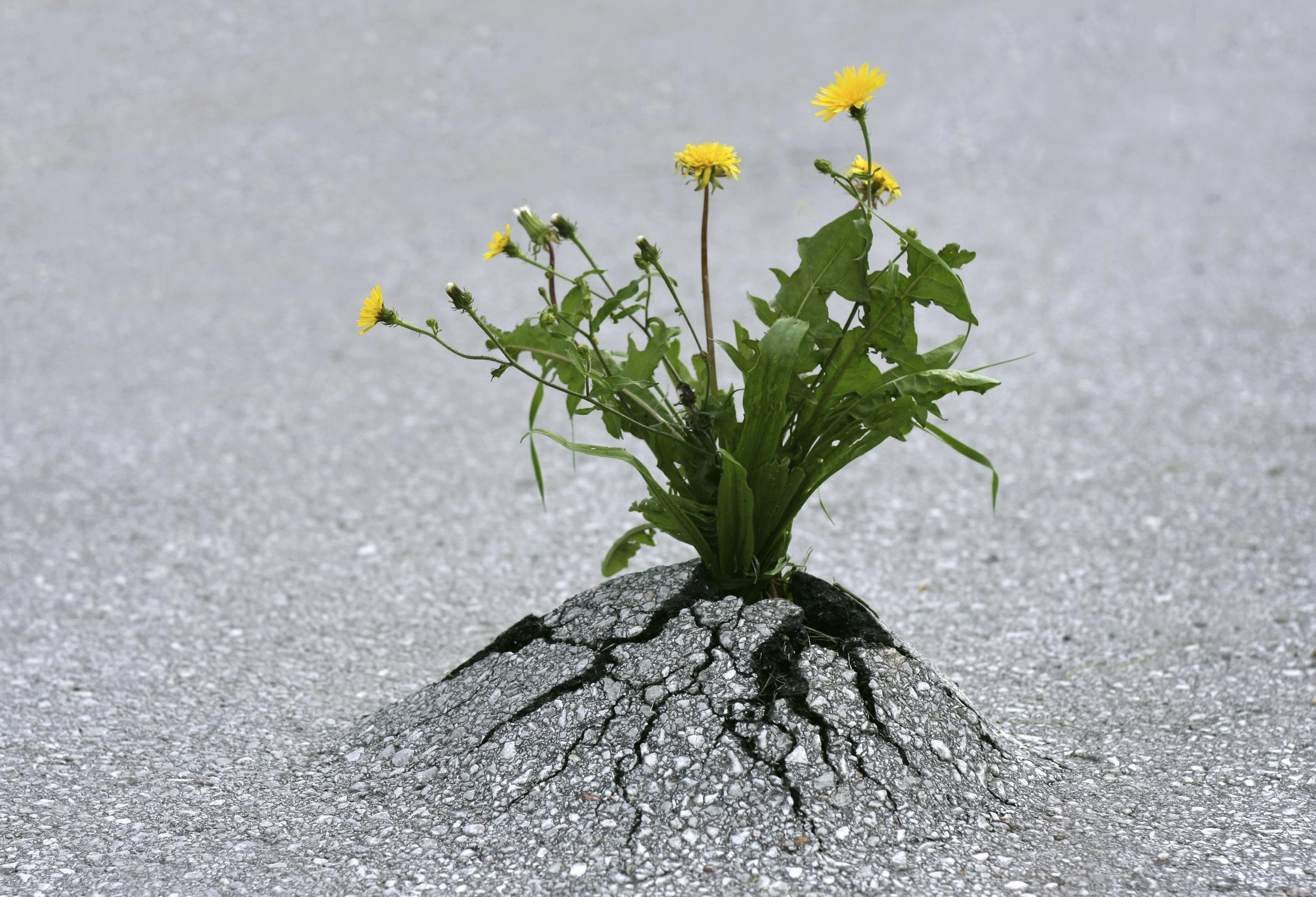resilience-dandelion-through-asphalt
